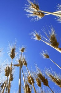 wheat blue sky