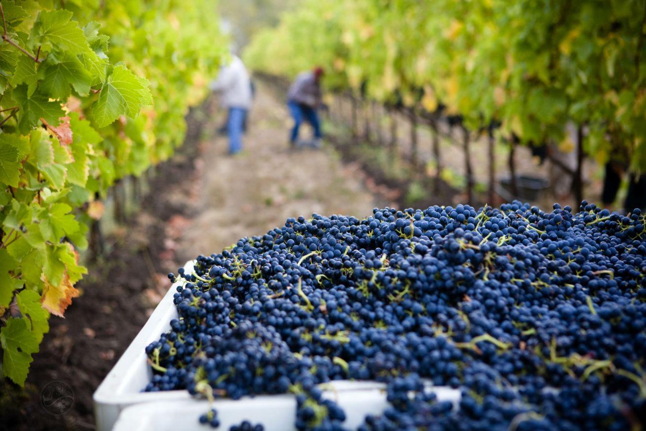Harvesting grapes in a vineyard