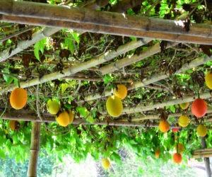gac fruit growing on a trellis.